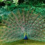 Peacocks in the Estate